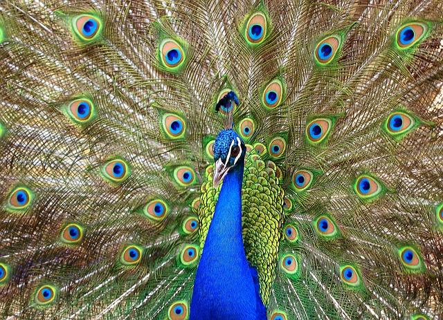 Peacock, Lisbon, Portugal