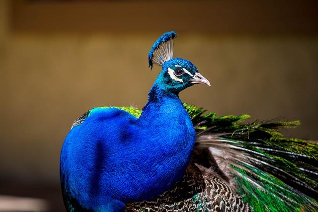 Peacock, Peacock Blue