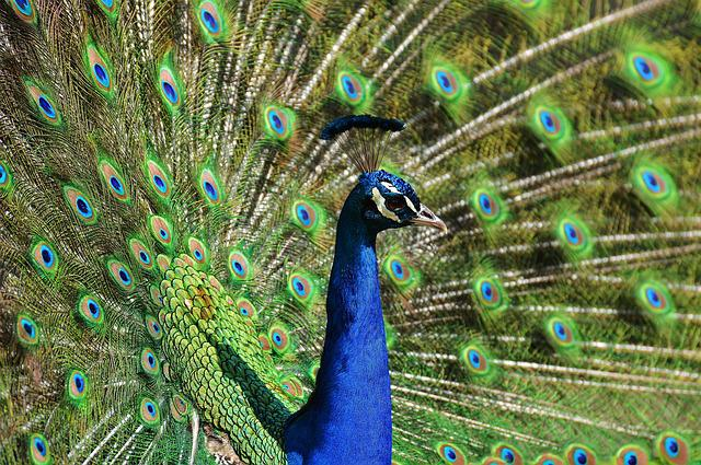 Peacock, Feather, Bird, Peacock Feathers, Colorful
