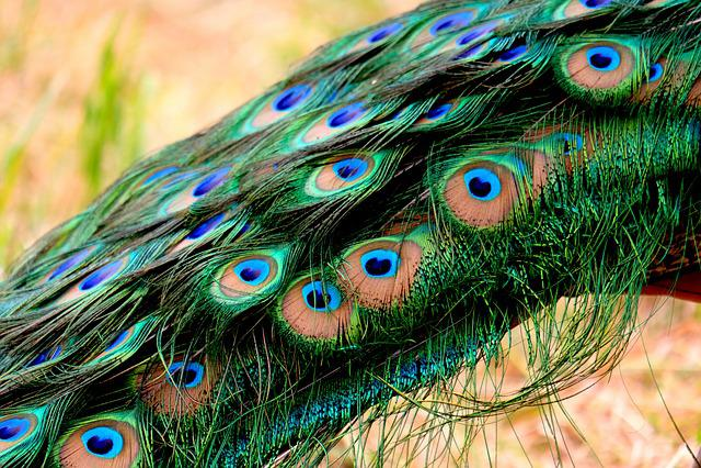 Plumage, Peacock, Feather, Pride, Bird