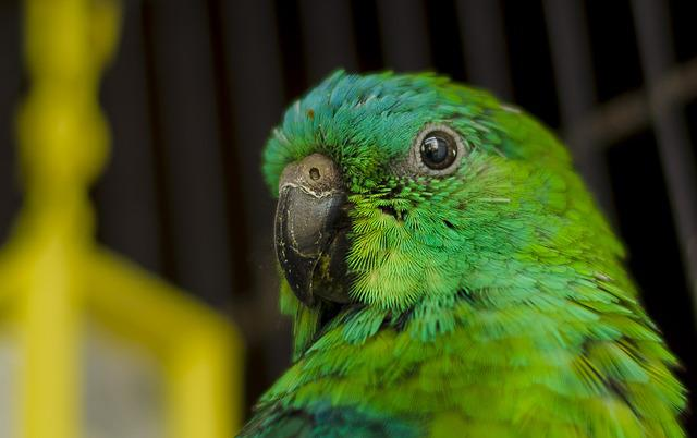 Parrot, Ave, Parrot Red-rumped, Green, Peak, Feathers