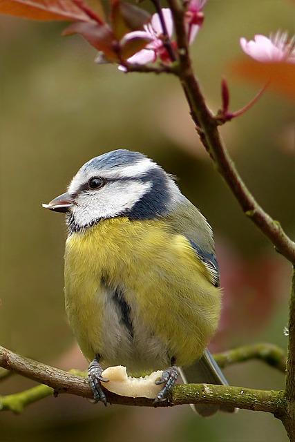 Blue Tit, Cyanistes Caeruleus, Bird, Tree, Food, Peanut
