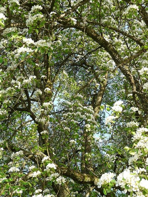 Pear, Flowers, White, Pear Blossom, Blossom, Bloom