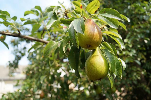 Pears, Fruit, Pear Tree, Pear, Nature, Summer