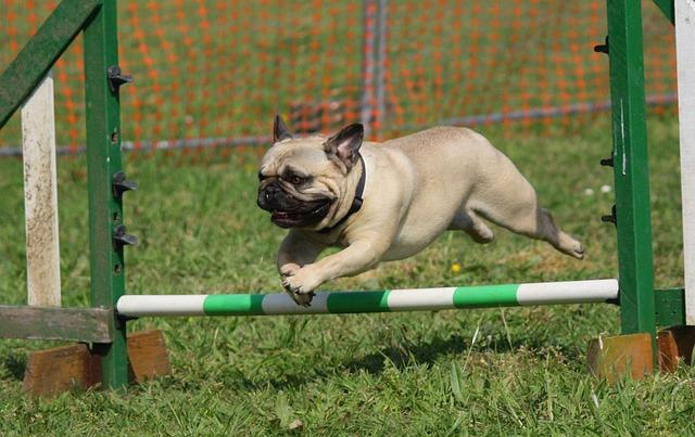 Dog, Pug, Training, Jumping, Breed, Pedigree