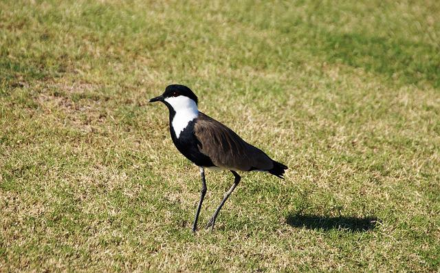 Peewit, Red-wattled Lapwing, Egypt, Bird, Feather, Beak