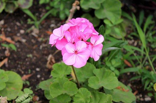 Geranium, Pelargonium, Cranesbill, Pelargōnium
