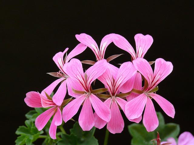 Pelargonium, Bloom, Flower, Floral, Pink