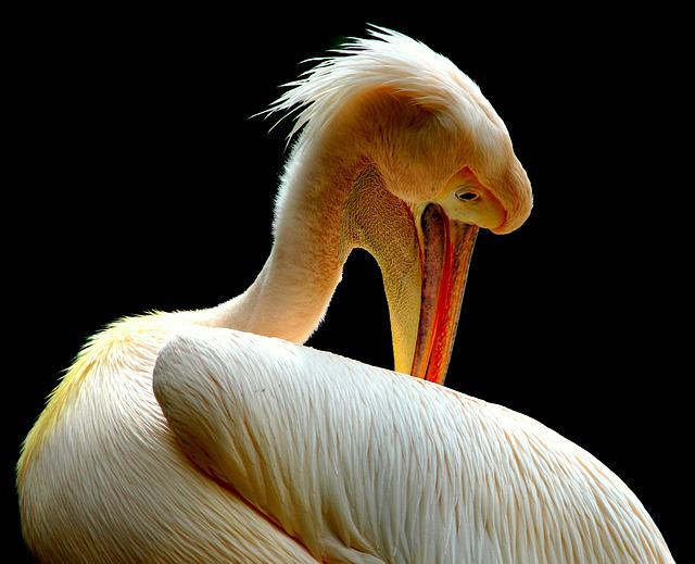 Pelican, Birds, Nature, Animal, Beak, Feathers