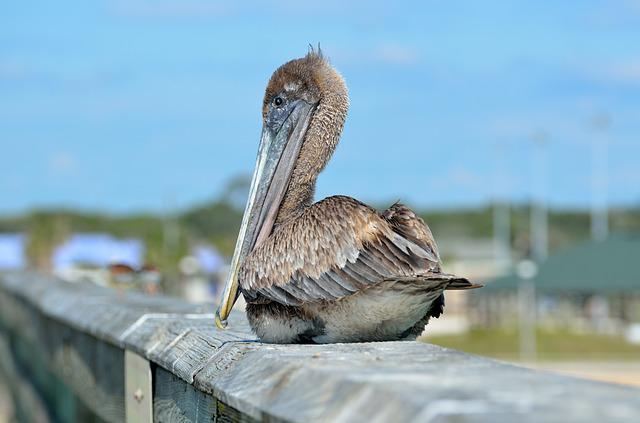 Pelican, Bird, Resting, Fishing Pier, Avian, Waterbird