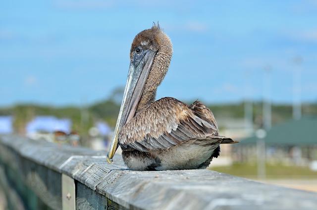 Pelican, Bird, Resting, Fishing Pier, Avian, Waterbird