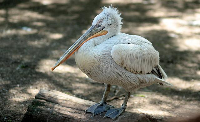 Pelican, Birds, Rest