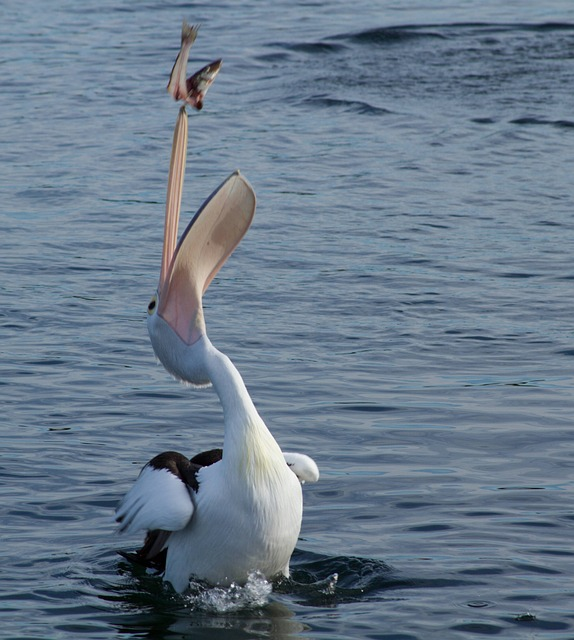 Pelican, Catching, Fish, Animal, Water, Water Bird