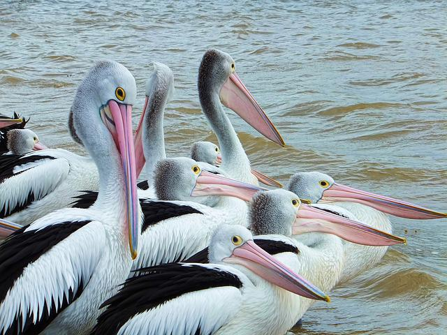 Bird, Pelican, Seabird, Nature, Beak, Fauna