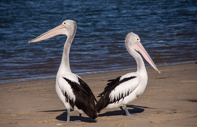 Pelicans, Sea, Beach, Bird, Black, White, Feathers