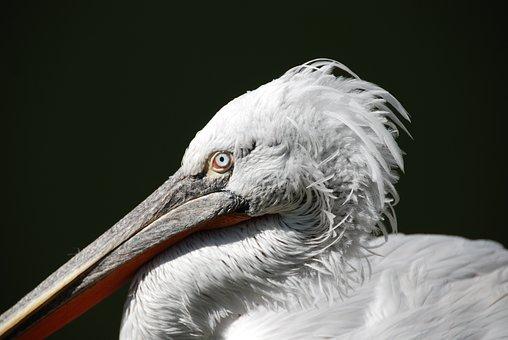 Pelikan, Water Bird, Animal, Close, Bird