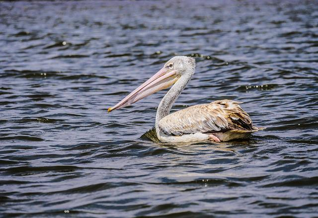 Pelikan, Pink-backed Pelican, Lake, Lake Naivasha