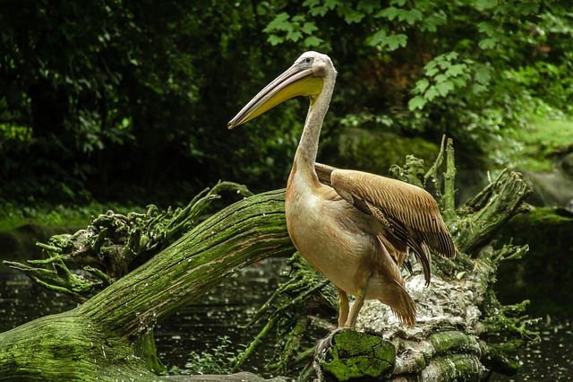 Pelikan, Lake, Zoo, Hagenbeck, Hamburg, Forest, Tree
