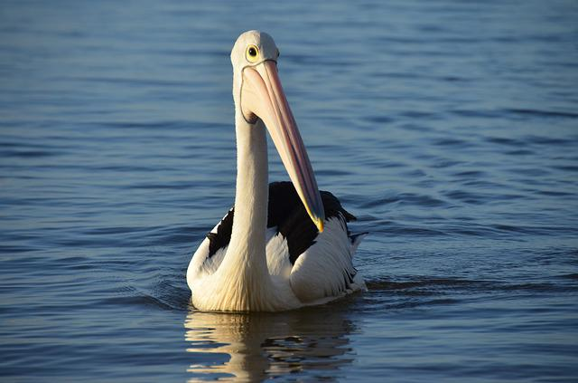 Pelikan, Water Bird, Australia, Water, Sea, Lake