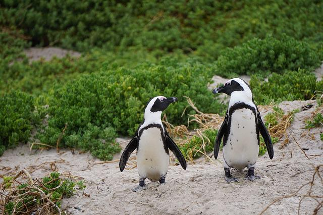 Penguins, Bird, Boulders Beach, South Africa