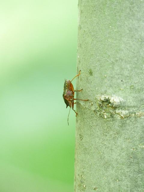 Red Legged Tree Bug, Bug, Pentatoma Rufipes, Animal