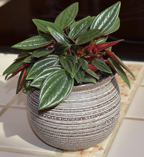 Peperomia Caperata Rosso, Peperomia, Container Plant