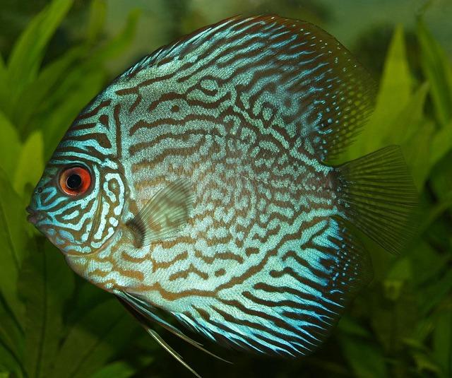 Perch, Cichlid, Discus Cichlid, Freshwater Fish