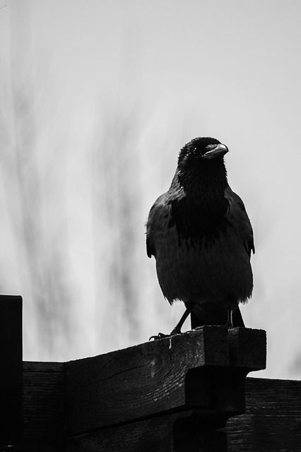 Animal, Bird, Crow, Dark, Feathers, Perched, Plumage