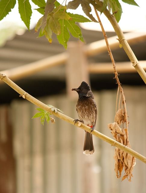 Bulbul, Bird, Red-vented, Fauna, Perched, Avian