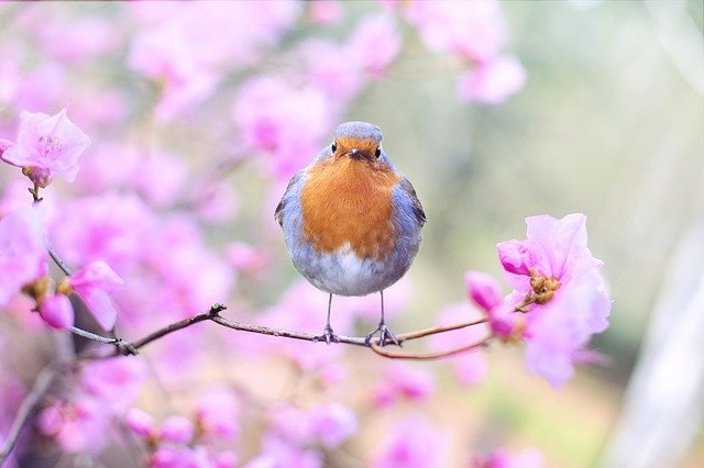 Bird, Robin, Spring, Flowers, Perched, Perched Bird