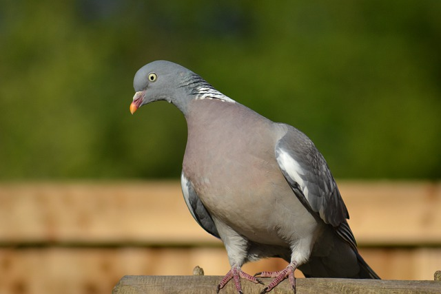 Woodpigeon, Pigeon, Side-forward View, Perched, Garden