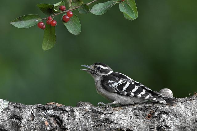 Bird, Woodpecker, Downy Woodpecker, Perched On A Branch