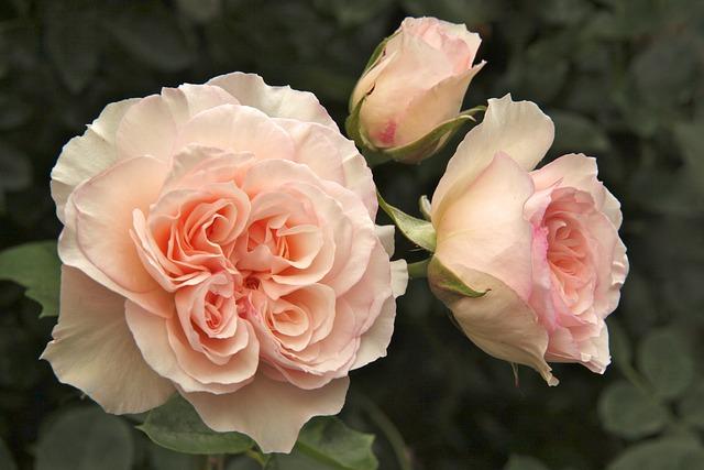 Rose, Perdita, Garden