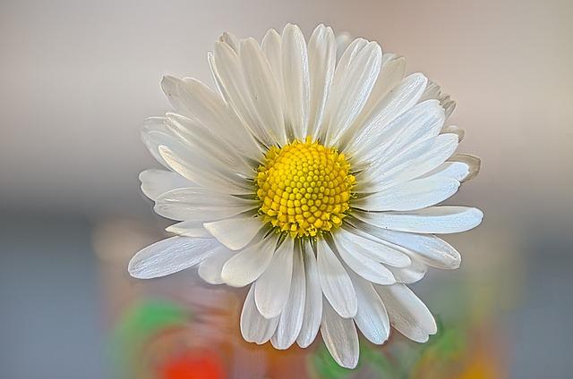 Daisy, Flower, Spring, Perennial, Bellis Perennis
