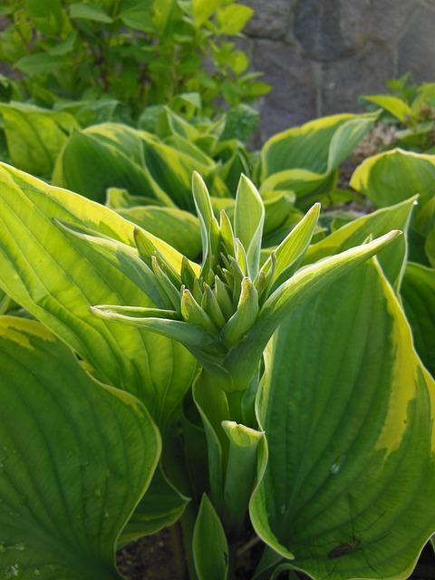 Funkia, Hosta, Budding, Perennials, Two-color, Garden