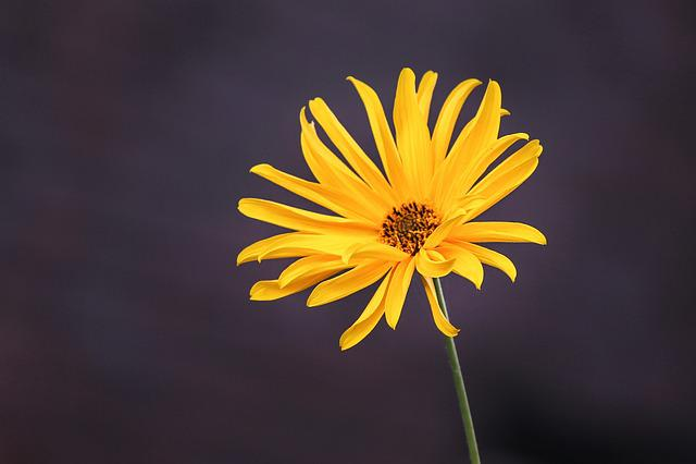 Perennials-sun Flower, Sunflower