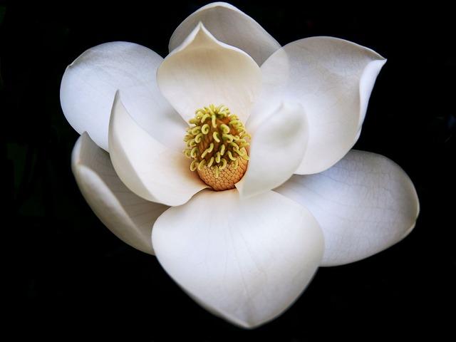 Perfect, Magnolia, Flower, Northcarolina