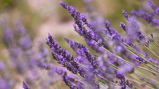 Flower, Nature, Plant, Lavender, Perfume, Aromatherapy