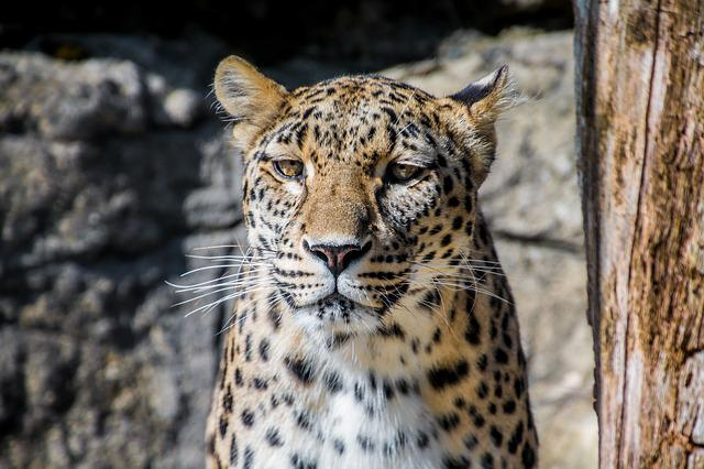 Leopard, Persian Leopard, Big Cat, Elegant, Dangerous