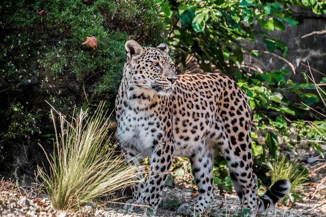 Leopard, Persian Leopard, Portrait, Close Up, View