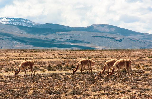 Vikjunja, Wild Animal, Altiplano, Peru