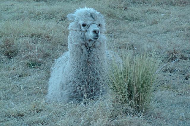 Alpaca, Andean Camelid, Camelid, Peru