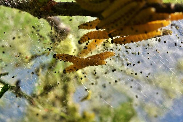 Caterpillar, Larva, Galleriinae, Wax Moth, Insect, Pest