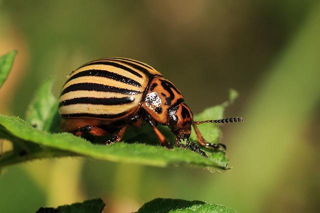 Colorado, Pests, Beetle, Potato, Striped