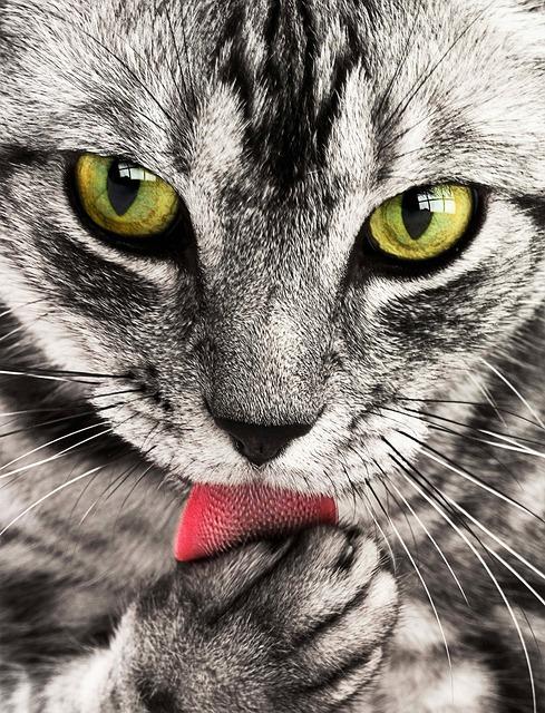 Cat, Pet, Licking, Animal, Tabby Cat, Domestic Cat