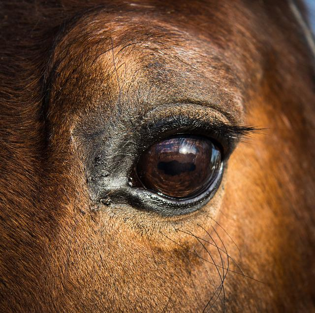 Horse, Eye, Equine, Head, Animal, Equestrian, Pony, Pet