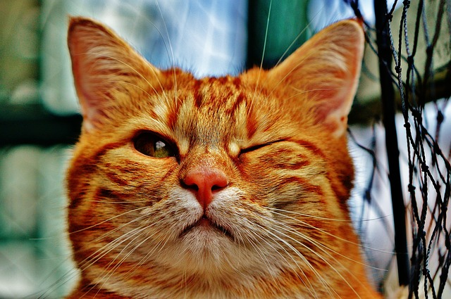 Cat, Wink, Funny, Fur, Animal, Red, Cute, Pet, Mietze