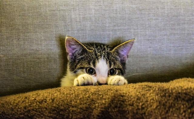 Kitten, Animal, Pet, Paws, Scaredy Cat, Couch