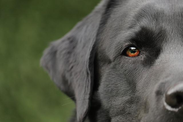 Dog, Labrador, Pet, Animal, Portrait, Retriever, Black