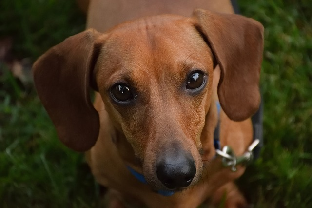Dog, Canine, Cute, Puppy, Pet, Dachshund, Adorable